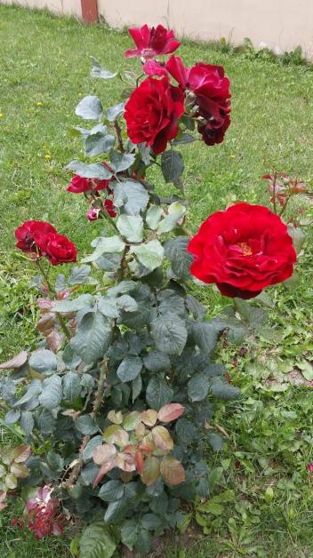 roses at RS